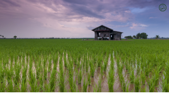 How Climate Affects the Rice Farming