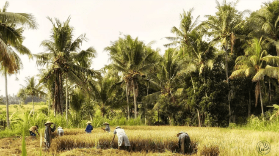 Rice Harvesting-min.png